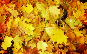 Picture autumn, yellow, Leaves