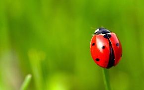 Wallpaper LADYBUG, MACRO, GREEN, BACKGROUND, GRASS