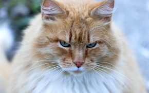 Picture cat, wool, angry