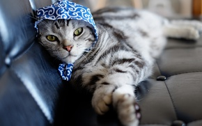Picture cat, look, shawl