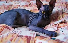 Picture kitty, money, cat money, sphinxes, bald kitty, bald cat, Sphinx kitten