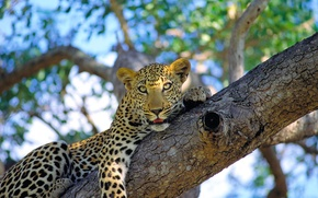 Picture mustache, face, Leopard, lies, wild cat, on the tree, looks, spotted