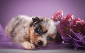 Wallpaper flowers, look, Australian shepherd, puppy, shepherd