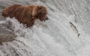 Picture river, stream, fish, bear