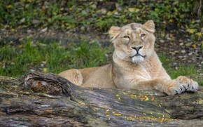 Picture cat, log, lioness, ©Tambako The Jaguar