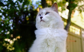 Picture cat, cat, nature, pose, the fence, fluffy, bokeh, blue-eyed