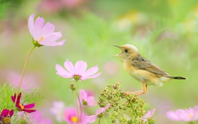 Picture flowers, bird, kosmeya, singing, yellow Wagtail