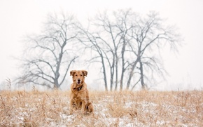 Picture dog, winter, snow, golden retriever