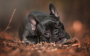 Wallpaper autumn, French bulldog, foliage, sprig, face, sadness, dog, lies, look, portrait