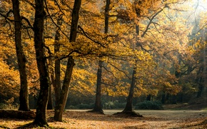 Picture forest, leaves, the sun, trees, sunshine, forest, trees, leaves