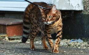 Picture cat, look, color, Bengal cat