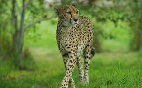 Picture Cheetah, grace, wild cat