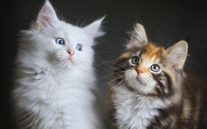 Picture Cats, kittens, fluffy, two, Maine coons