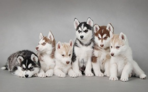 Picture dogs, puppies, husky