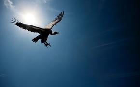Picture the sky, the sun, flight, vulture, Grif