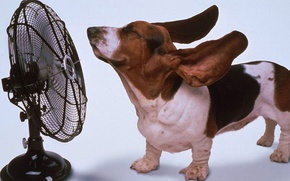 Picture animals, dog, fan