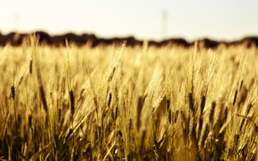 Picture wheat, field, macro, background, widescreen, Wallpaper, rye, spikelets, wallpaper, ears, field, widescreen, background, macro, spike, …