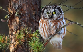 Picture forest, needles, branches, tree, Tengmalm's owl, small owl