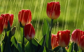 Picture greens, summer, the sun, rain, tulips, red tulips
