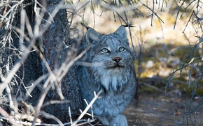 Picture face, branches, stay, shadow, predator, lies, lynx, wild cat