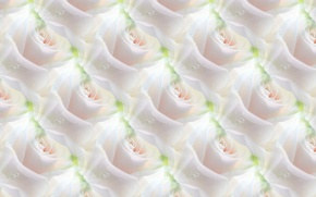 Picture flower, background, rose, texture, white rose