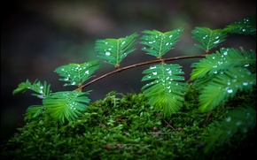 Wallpaper drops, macro, moss, branch