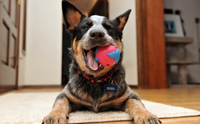Picture Happy, Australian Cattle Dog, Puppy