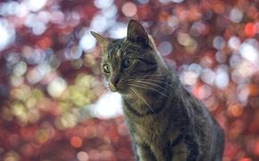 Wallpaper cat, glare, bokeh, background, cat