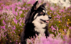 Picture flowers, the bushes, dog