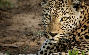 Picture look, face, leopard