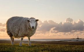 Picture landscape, nature, sheep