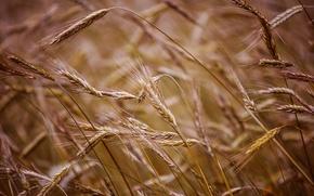 Picture wheat, field, macro, background, widescreen, Wallpaper, rye, wallpaper, field, widescreen, background, macro, full screen, HD …