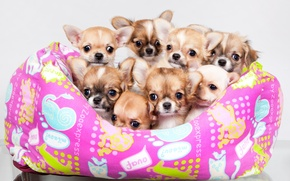 Picture puppies, a lot, Chihuahua, cute