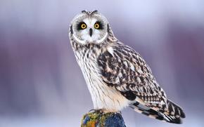 Picture winter, eyes, look, owl, bird