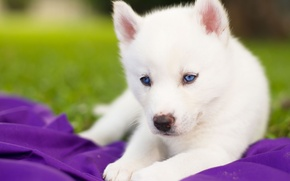 Picture white, puppy, blue eyes, Siberian husky