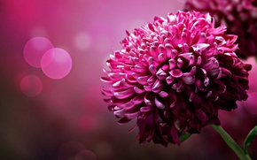 Picture flower, background, color, petals, brightness, chrysanthemum