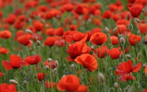 Wallpaper flowers, field, red poppies