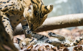 Picture cats, the game, paws, cub, kitty, Serval, ©Tambako The Jaguar
