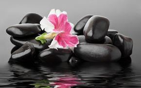 Picture flower, water, pebbles, spa