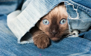 Picture eyes, cat, look, blue