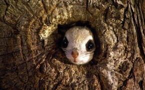 Wallpaper tree, the hollow, Japanese flying squirrel, Rishiri-Rebun-Sarobetsu National Park, Japan, rodent