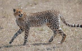 Picture predator, Cheetah, grace, wild cat