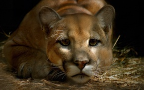 Picture eyes, mustache, look, face, Puma, sad, mountain lion, Cougar