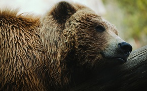 Picture face, stay, bear, grizzly