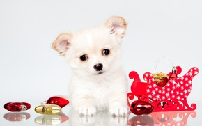 Picture white, puppy, Chihuahua