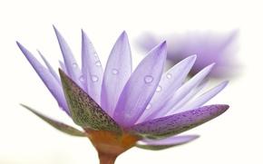 Picture flower, water, drops, nature, Rosa, petals