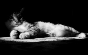 Picture paws, nose, Cat, black and white
