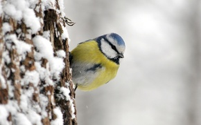 Picture bird, tit, blue tit