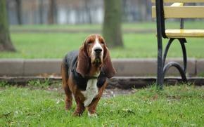 Picture dog, walk, grass, Bassett