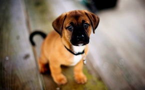 Picture puppy, American, American, Terrier, Staffordshire, Puppie, Staffordshire Terrier